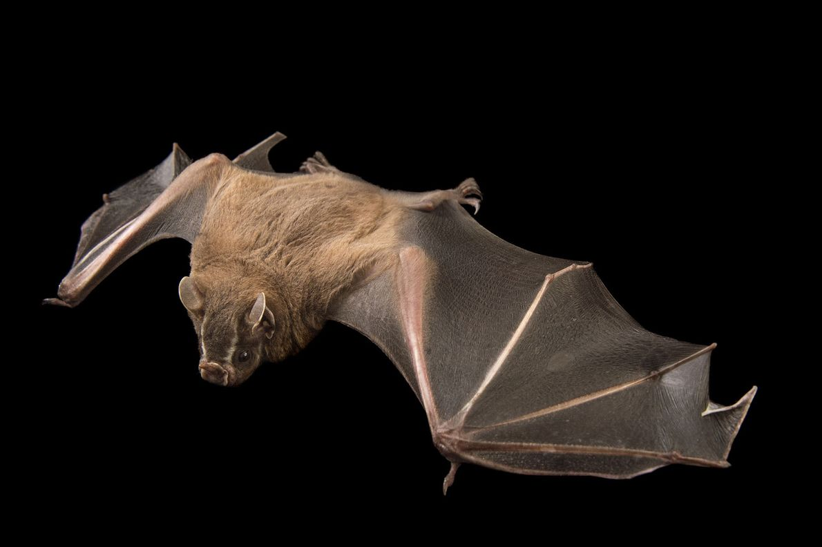 "Un murciélago frugívoro ""Artibeus lituratus"" en Lubee Bat Conservancy en Gainesville, Florida."
