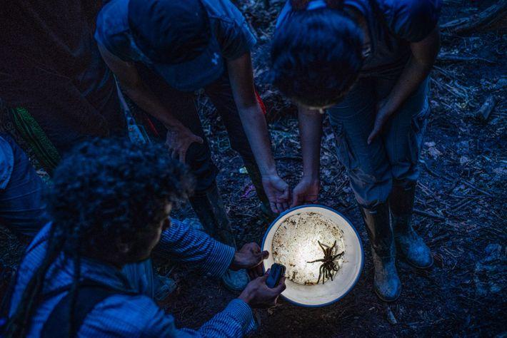 Los biólogos examinan una tarántula negra de Colombia, Xenesthis immanis, que encontraron en el bosque.