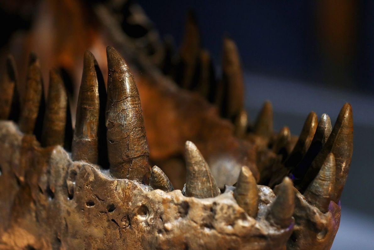 """Esta foto muestra los formidables dientes y mandíbulas de una hembra de  """"Tyrannosaurus rex"""" o ..."""