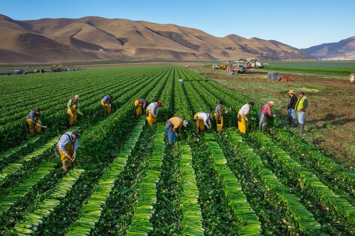 Los trabajadores cosechan apio en una granja en el Valle de Salinas de California. La región ...