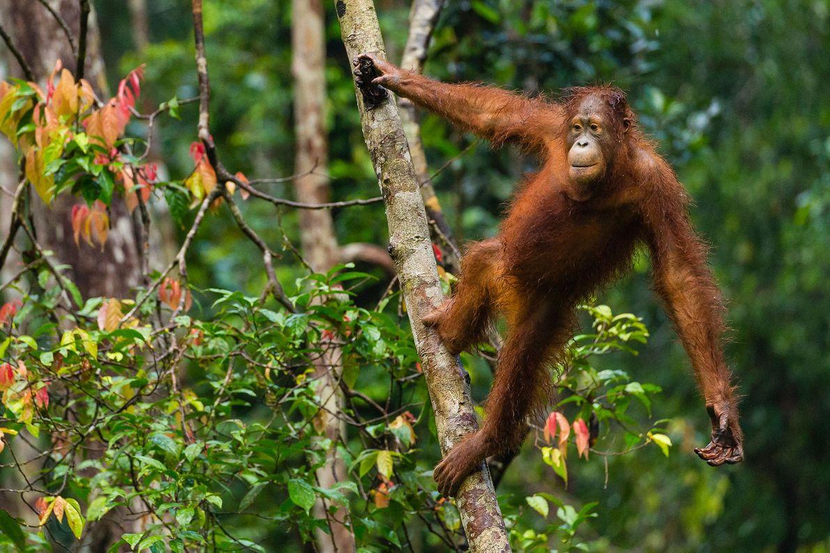 Un orangután de Borneo mira a sus alrededores en el Campamento Leakey. A pesar de que ...