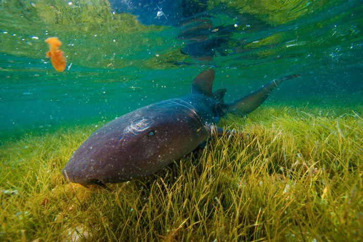 Un tiburón nodriza explora un pasto marino en el cayo Half Moon.