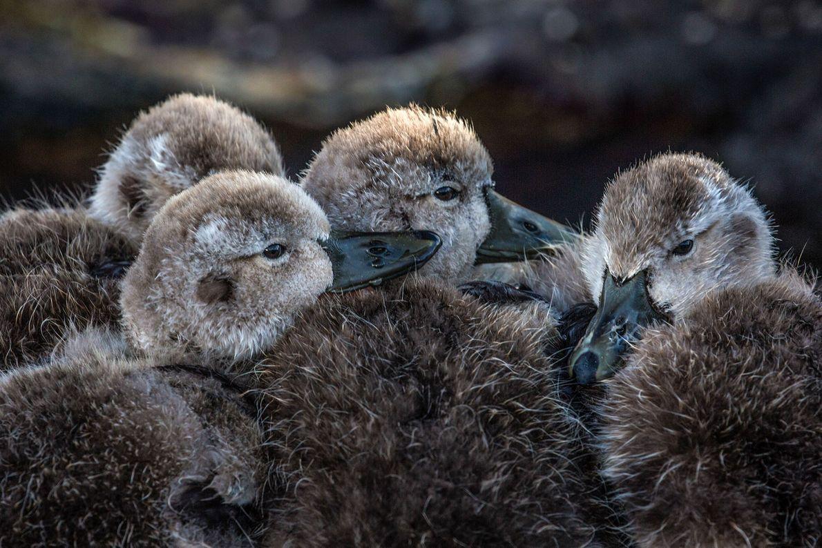 Cuatro patitos se acurrucan juntos. Islas Malvinas.