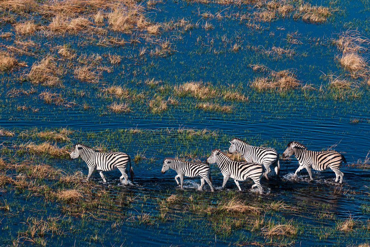"""Una vista aérea de las cebras de llanuras (""""Equus quagga"""") caminando en una llanura inundada en ..."""