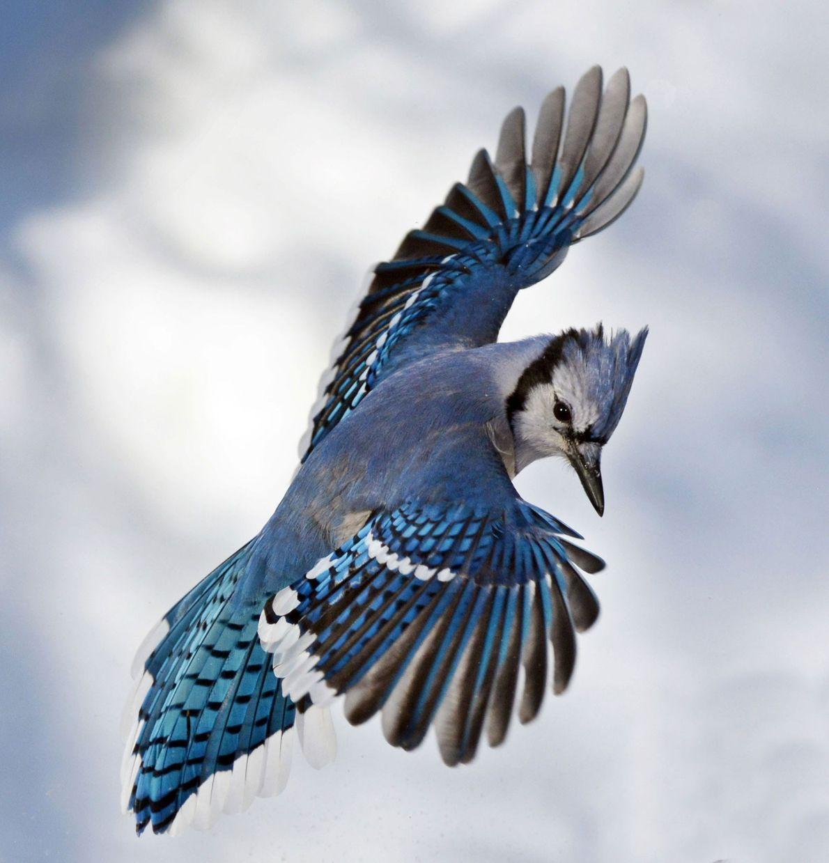 """Chara azul (""""Cyanocitta cristata"""")"""