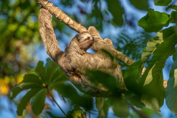 El caimansote (Bradypus tridactylus) anida en un yagrumo en la Estación Ecológica Maracá-Jipioca, en Amapá. Entre ...