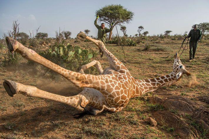 Los guardaparques del Servicio de vida silvestre de Kenia esperaban a que el tranquilizante actuara. Tras ...
