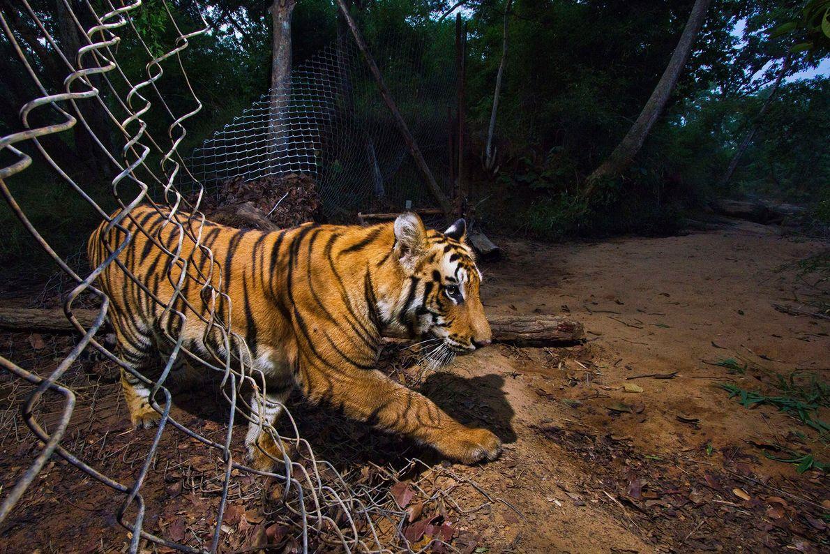 Un tigre se cuela por una verja en el Parque Nacional Bandhavgarh, en la India.