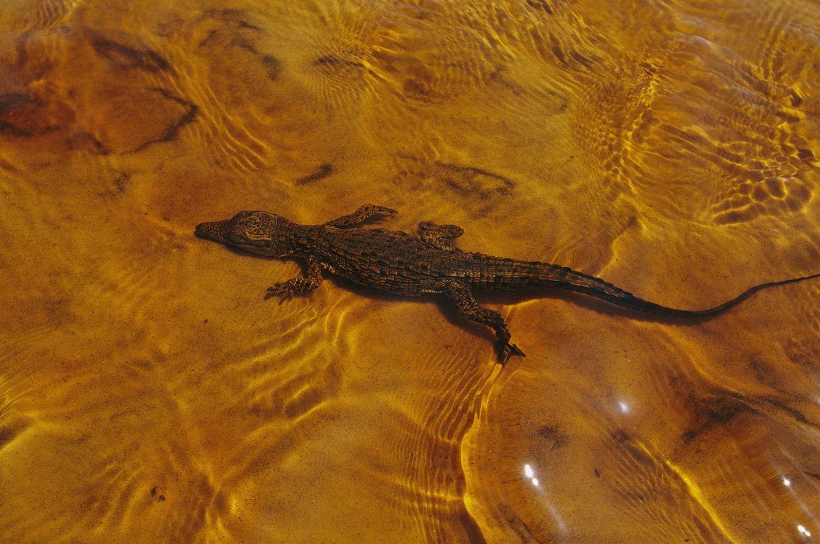 Un cocodrilo joven se desliza por un estuario en Gabón.