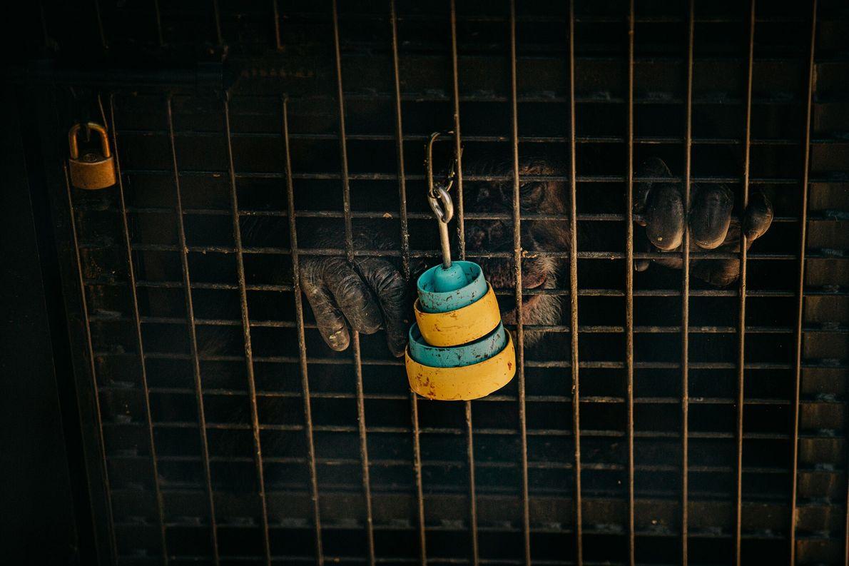 Un chimpancé de laboratorio retirado busca comida en vasos apilados fijados al exterior de un recinto ...