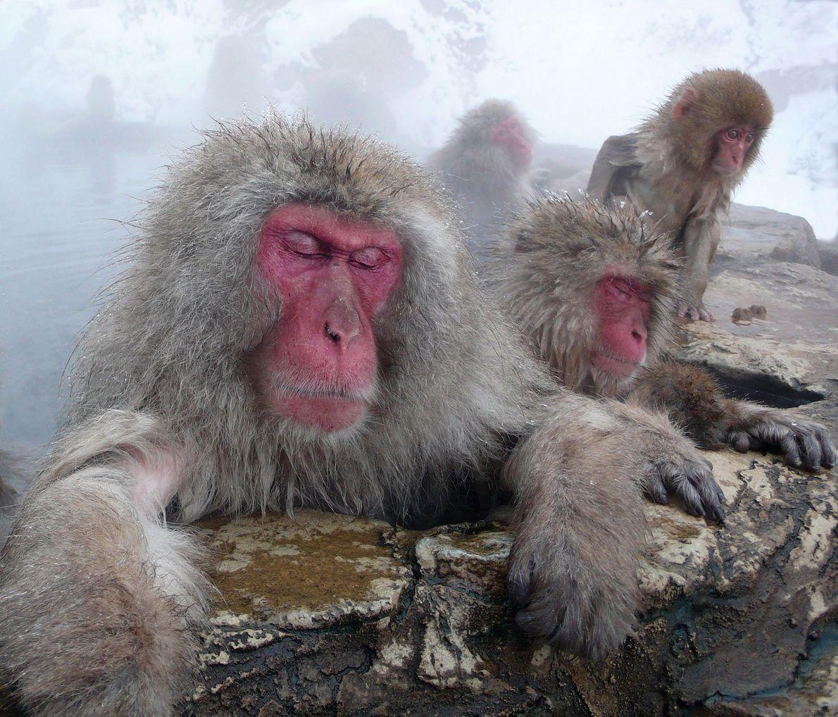 Estos monos japoneses pasan horas en el agua caliente, dormitando mientras los más jóvenes juegan. Yotsuya, ...