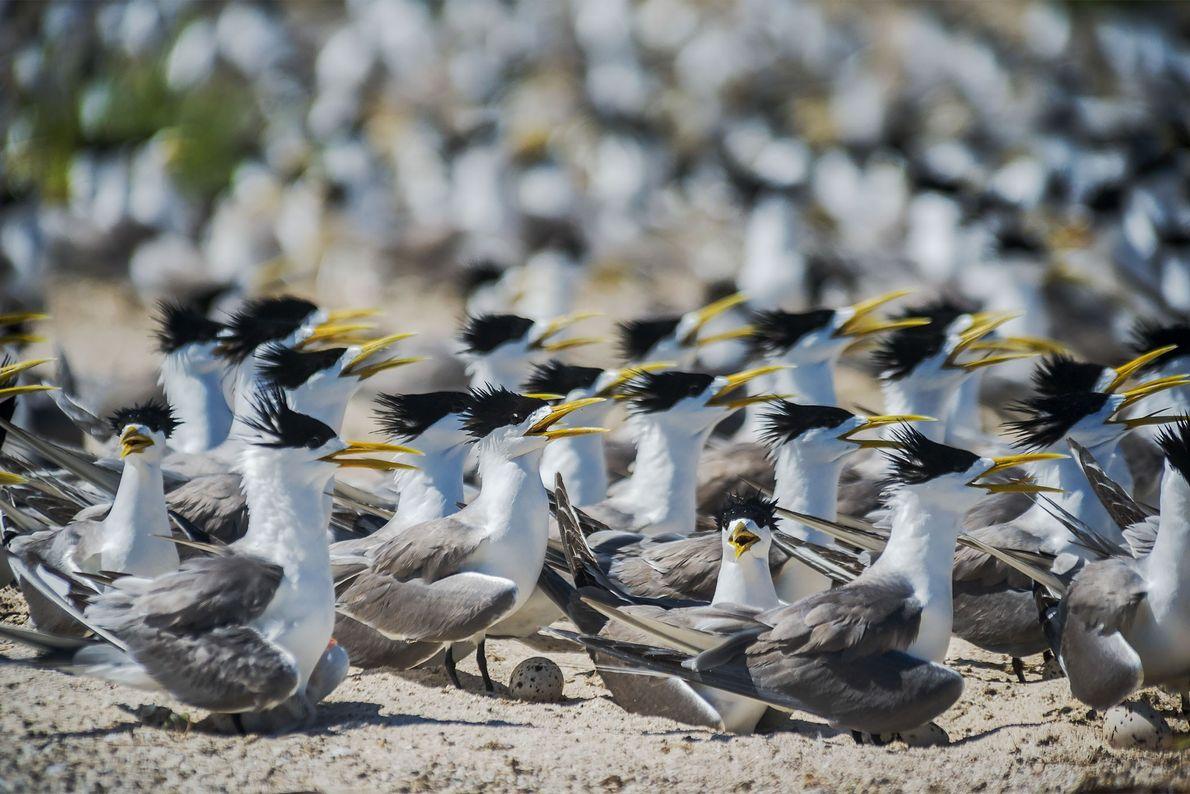 Los charranes piquigualdos (Thalasseus bergii) anidan en el islote de las Aves en el atolón norte ...
