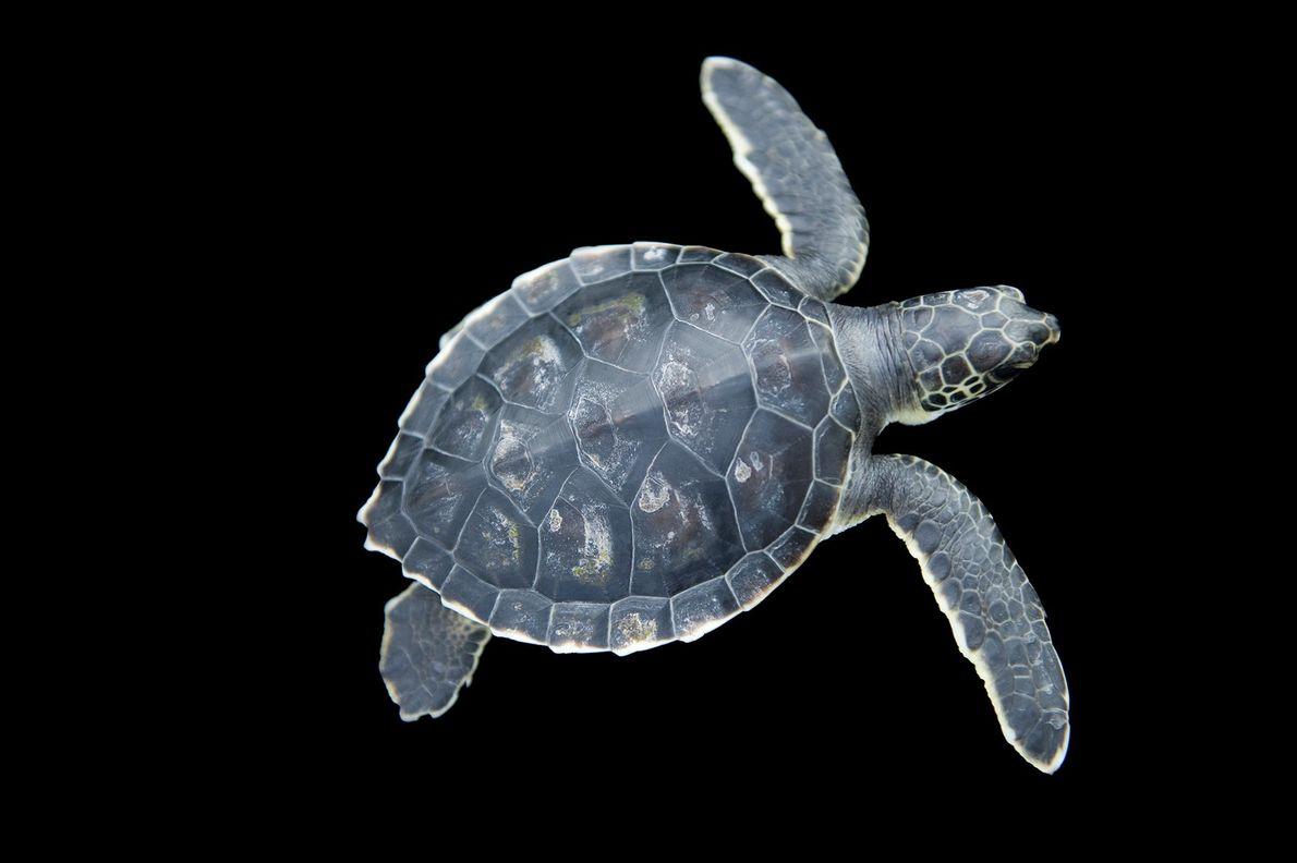 Las tortugas verdes (Chelonia mydas), una especie en peligro de extinción, se encuentran entre las tortugas ...