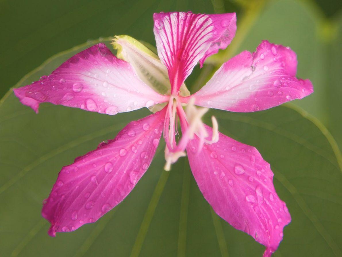 Orquídea del pobre