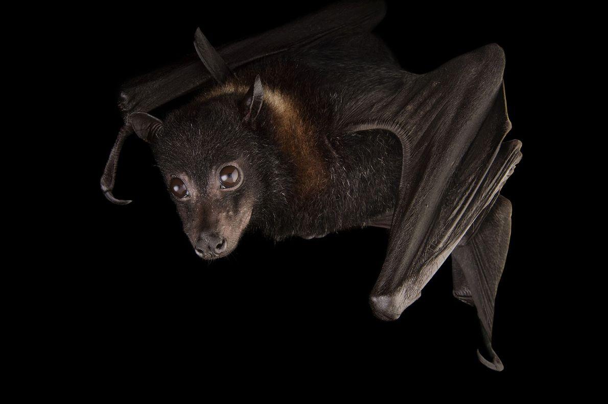 """Un murciélago """"Pteropus hypomelanus""""."""