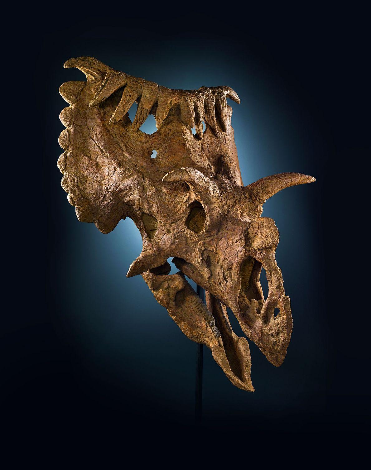 """Este cráneo poco común proviene de un pariente del """"Triceratops"""" llamado """"Kosmoceratops richardsoni"""". Este dinosaurio ceratopsio ..."""
