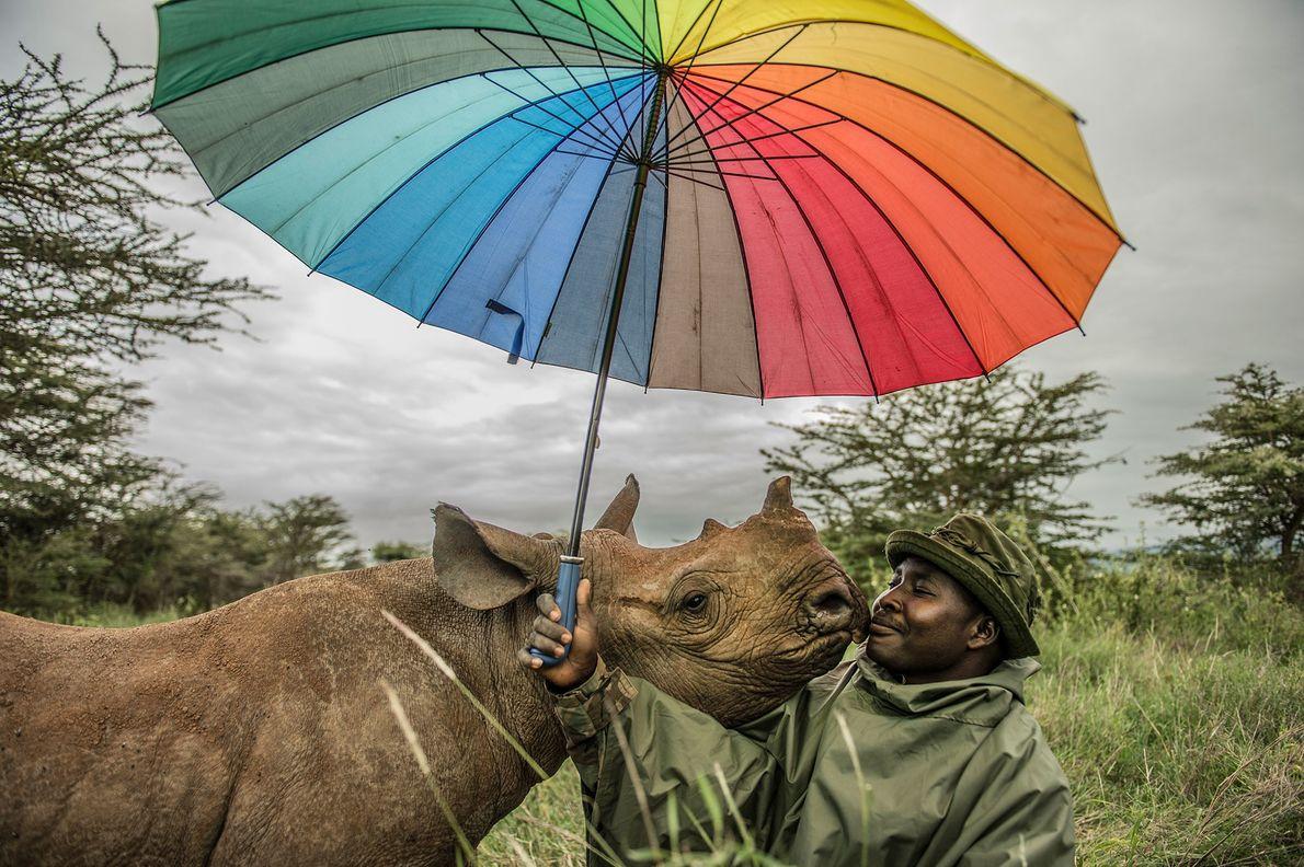 Un guardabosques de Lewa Wildlife Conservancy en Kenia es acariciado por un rinoceronte negro de 18 ...