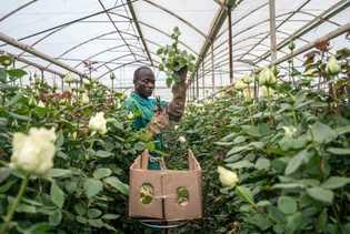 """Boniface Okinyi cosecha rosas de la """"Reina de África"""" en un invernadero en Oserian, uno de ..."""