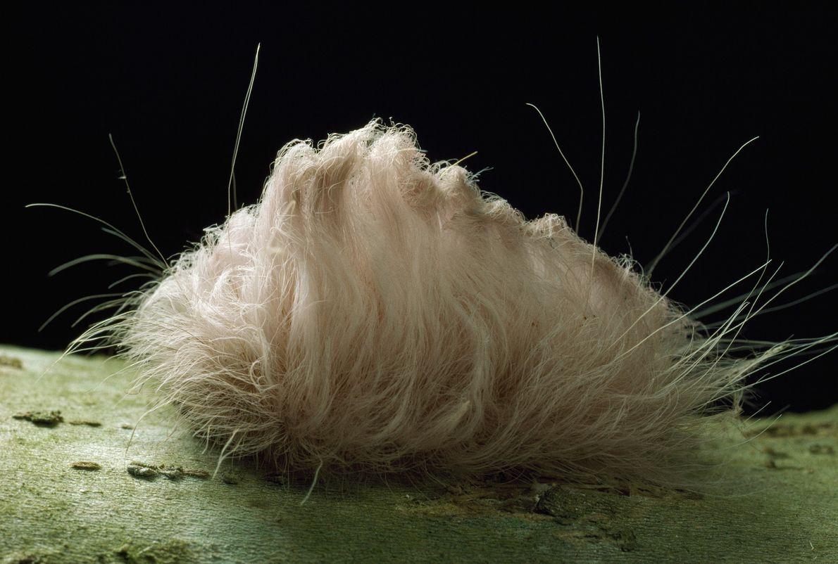 Esta oruga gato es muy linda, pero te arrepentirás si la adoptas como mascota. Detrás de ...
