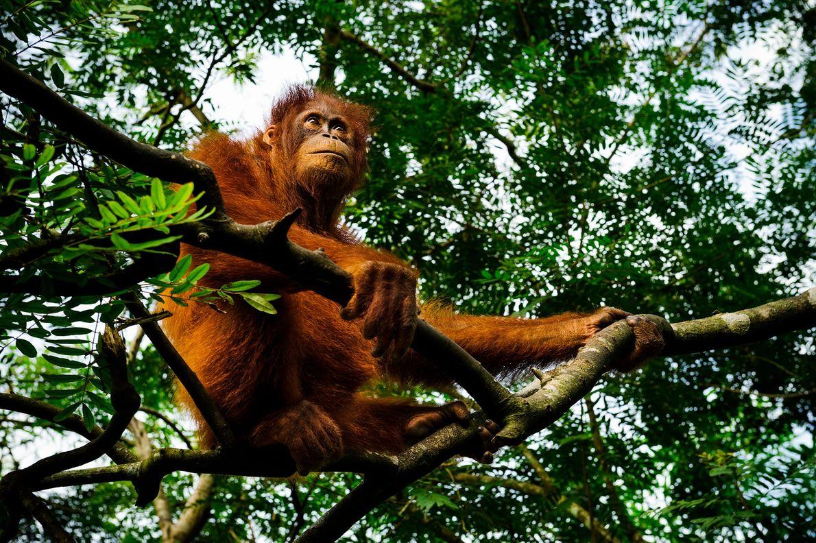 Un orangután descansa sobre un árbol en el Centro de Rescate de Orangutanes en Borneo. La ...