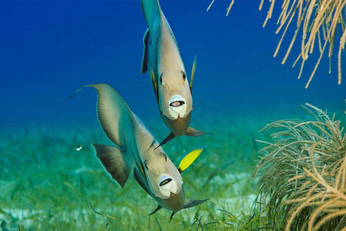 Peces ángel grises se alimentan en el arrecife Lighthouse.