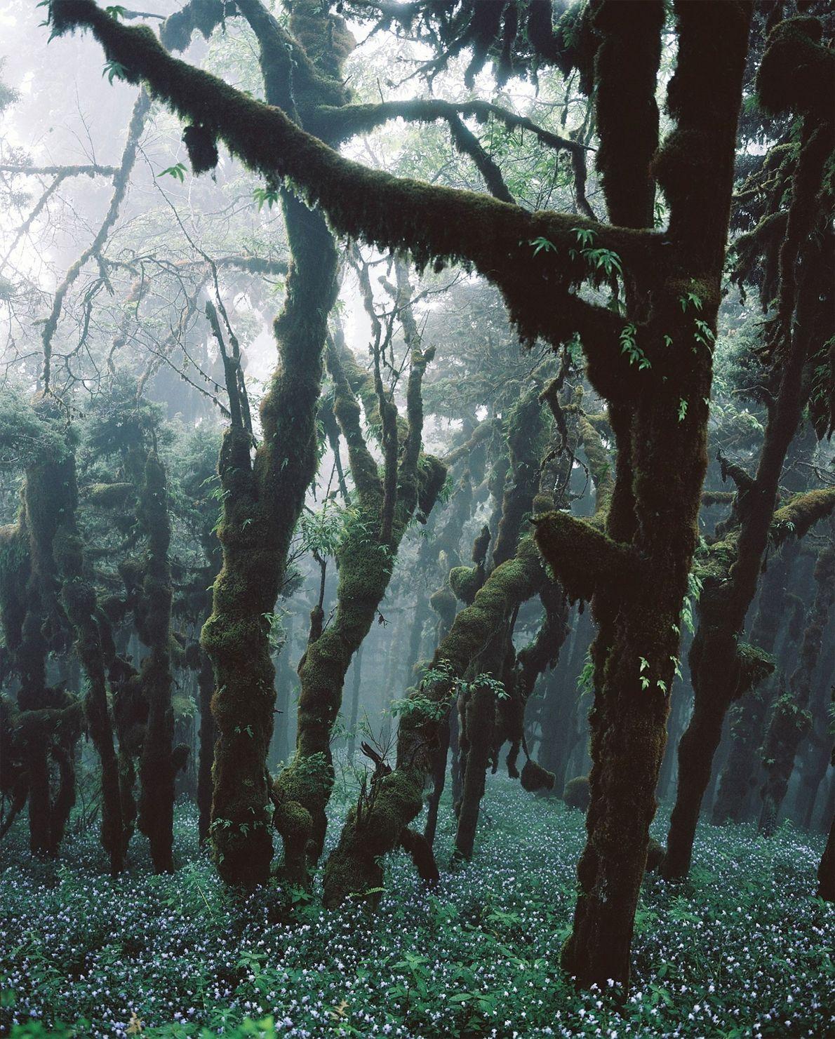 Los abetos crean una densa cubierta forestal en este bosque de Bután. La constitución de Bután ...
