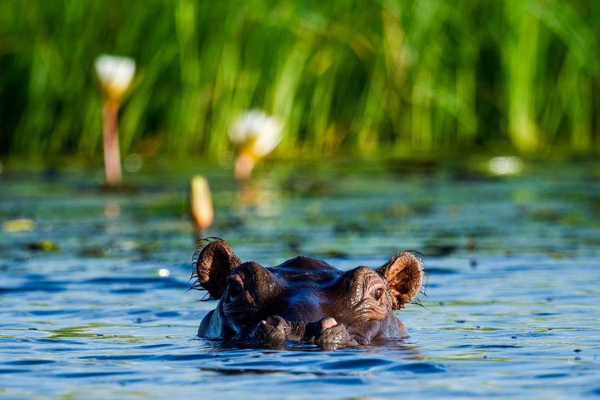 Un hipopótamo del Nilo se asoma desde un pantano en el Parque Nacional de Chobe, Botswana.