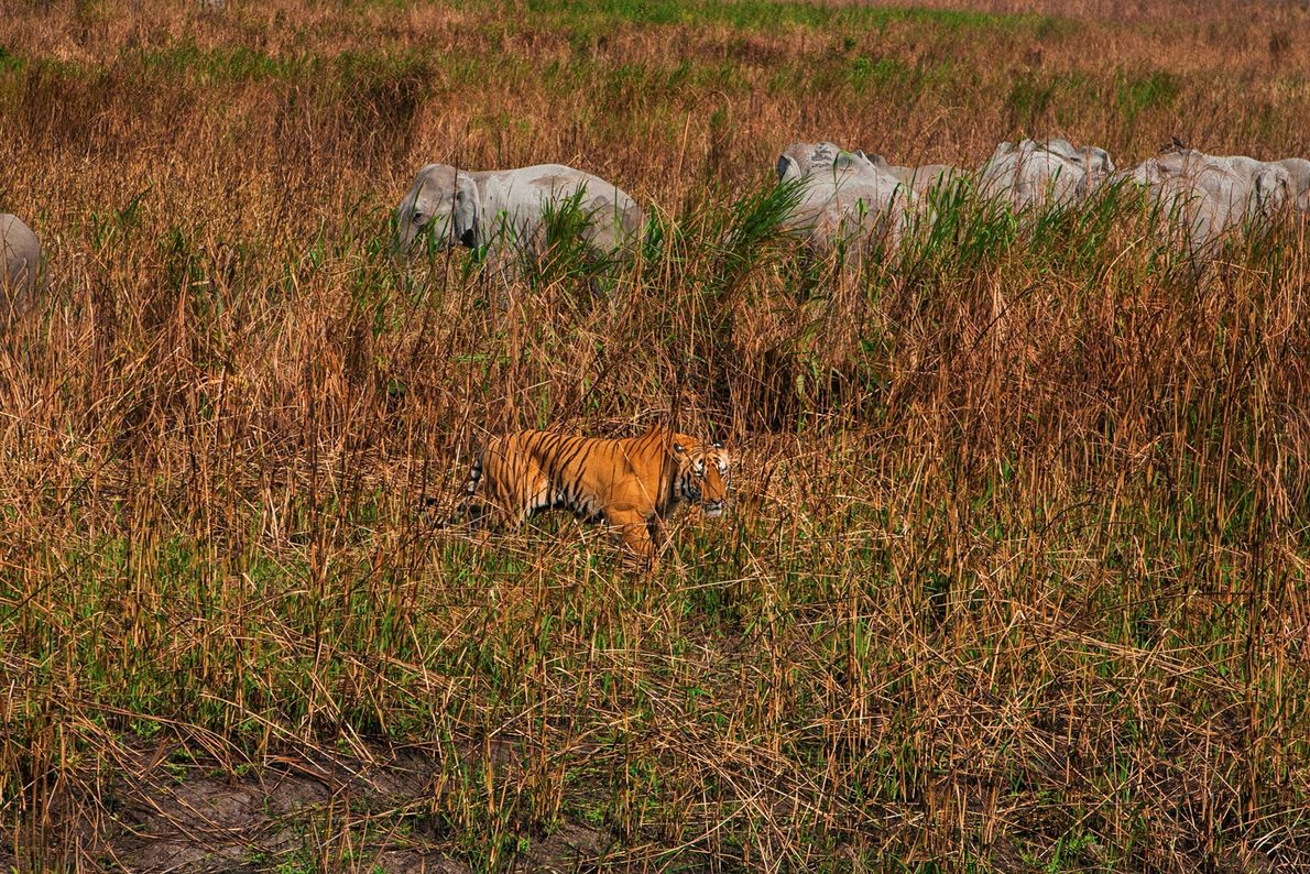 Un tigre camuflado vigila a una cría de elefante asiático entre la hierba alta.