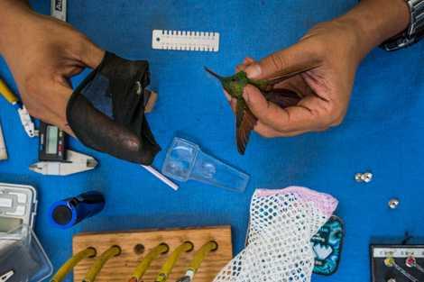 El investigador Carlos Alberto Soberanes González se prepara para pesar un colibrí berilo en La Cantera. ...
