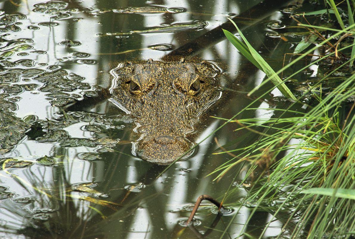 Los cocodrilos del Nilo matan a más de 200 personas por año, según CrocBITE, una base ...