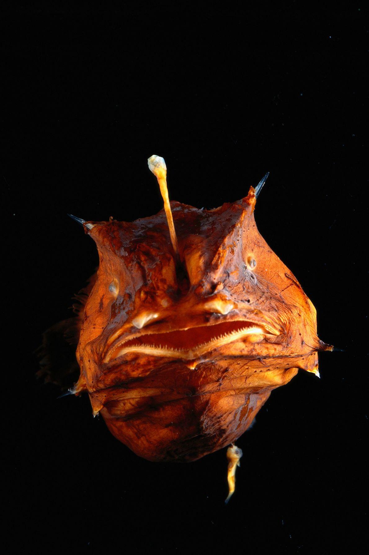Los Lophiiformes viven en las profundidades del océano, donde no hay luz. Las hembras, como la ...