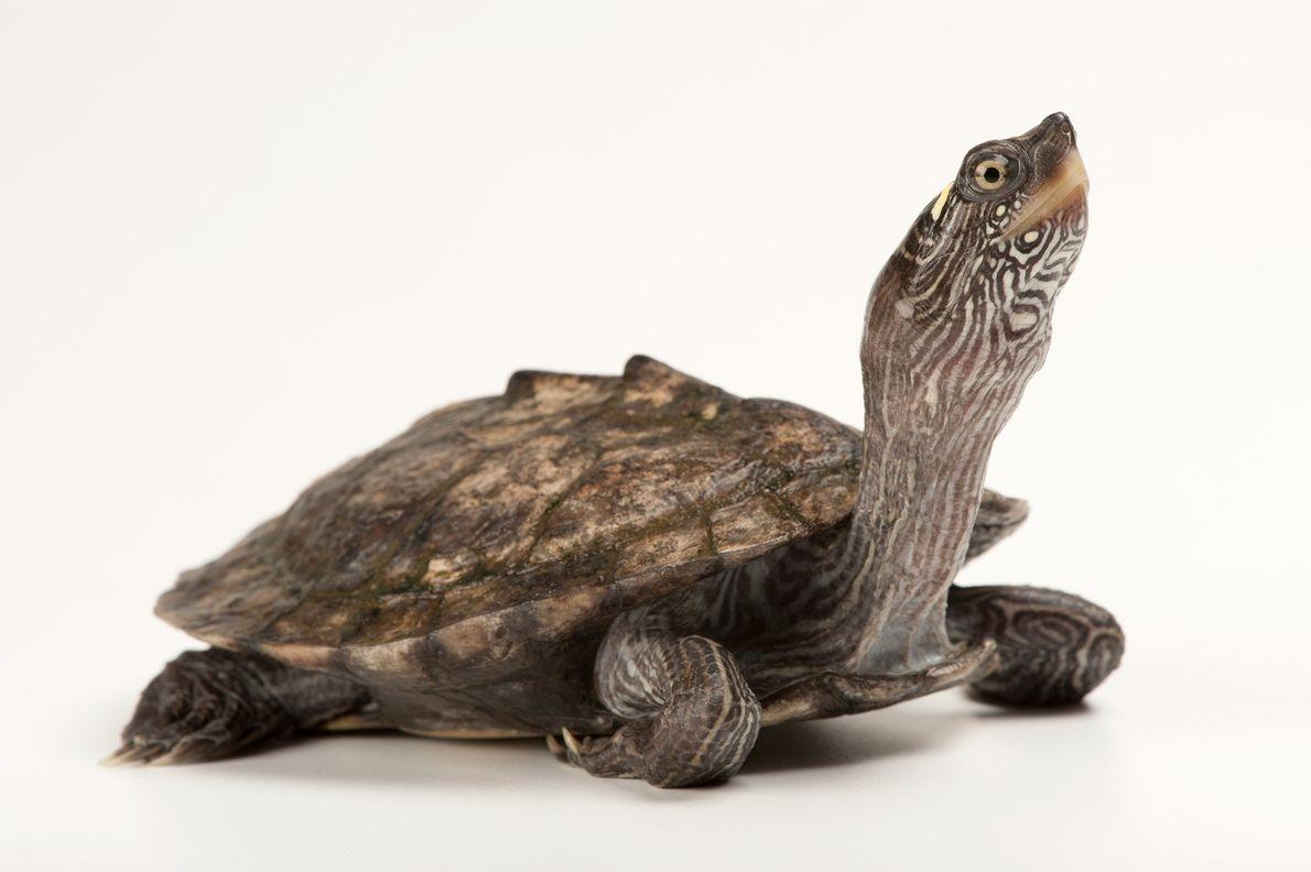 Una tortuga mapa falsa (Graptemys pseudogeographica) tiene líneas a lo largo de su caparazón, pero no ...