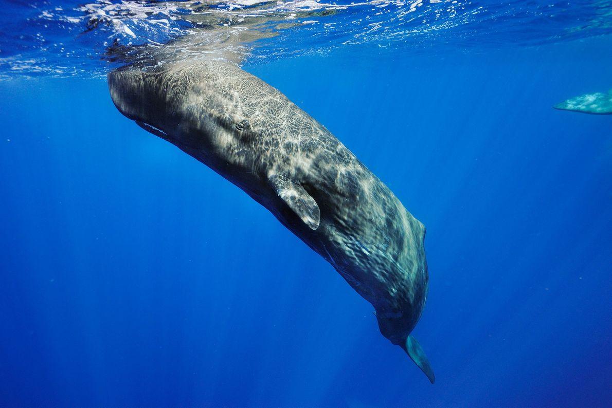 Los cachalotes (en la imagen, uno de las Azores) se cazaban por una sustancia grasa en ...
