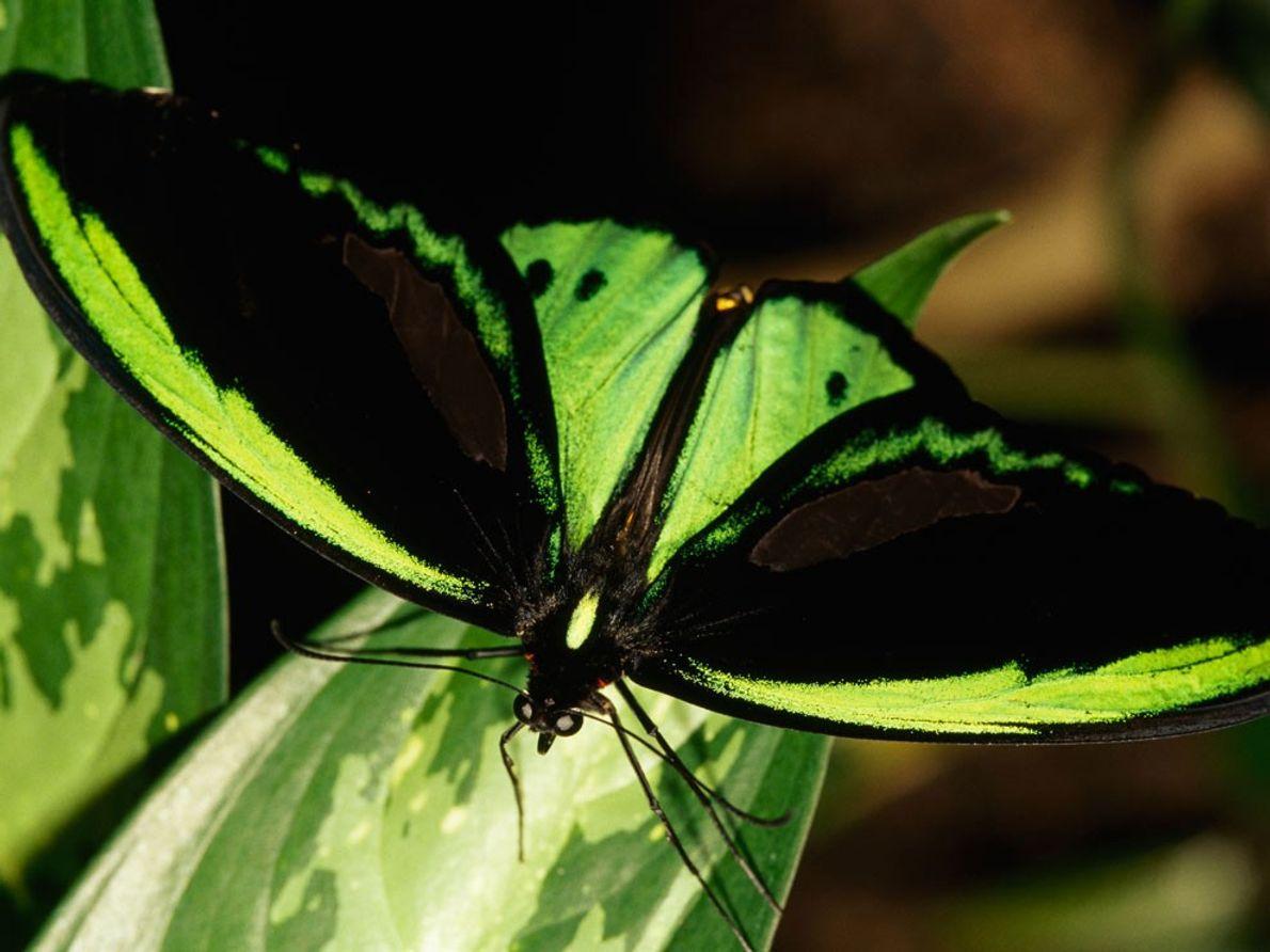 La mariposa más grande de Australia, el ala de pájaro (Ornithoptera priamus) se funde en una ...