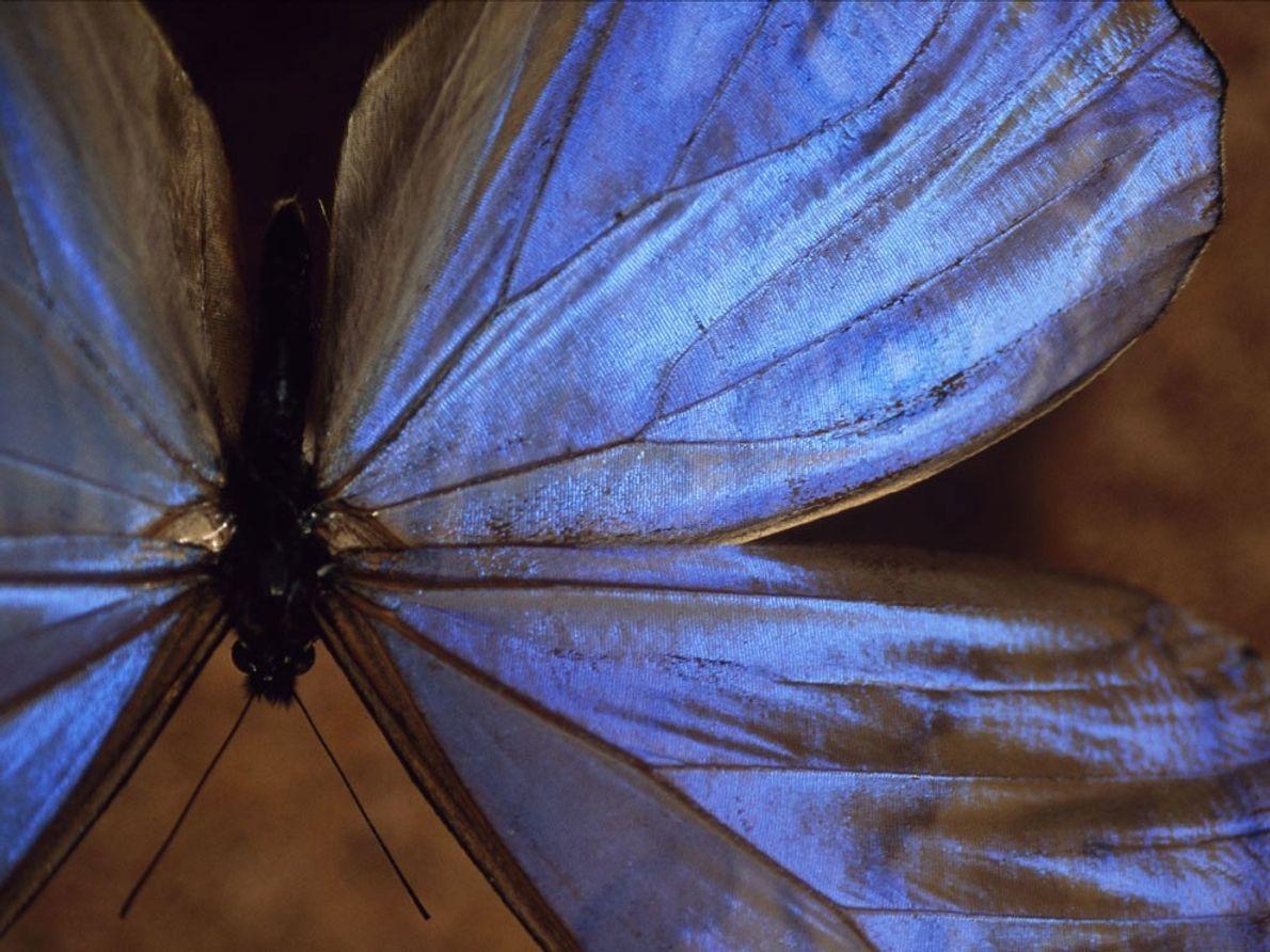 Las alas de una mariposa morpho azul macho brillan iridiscentes en este espécimen.
