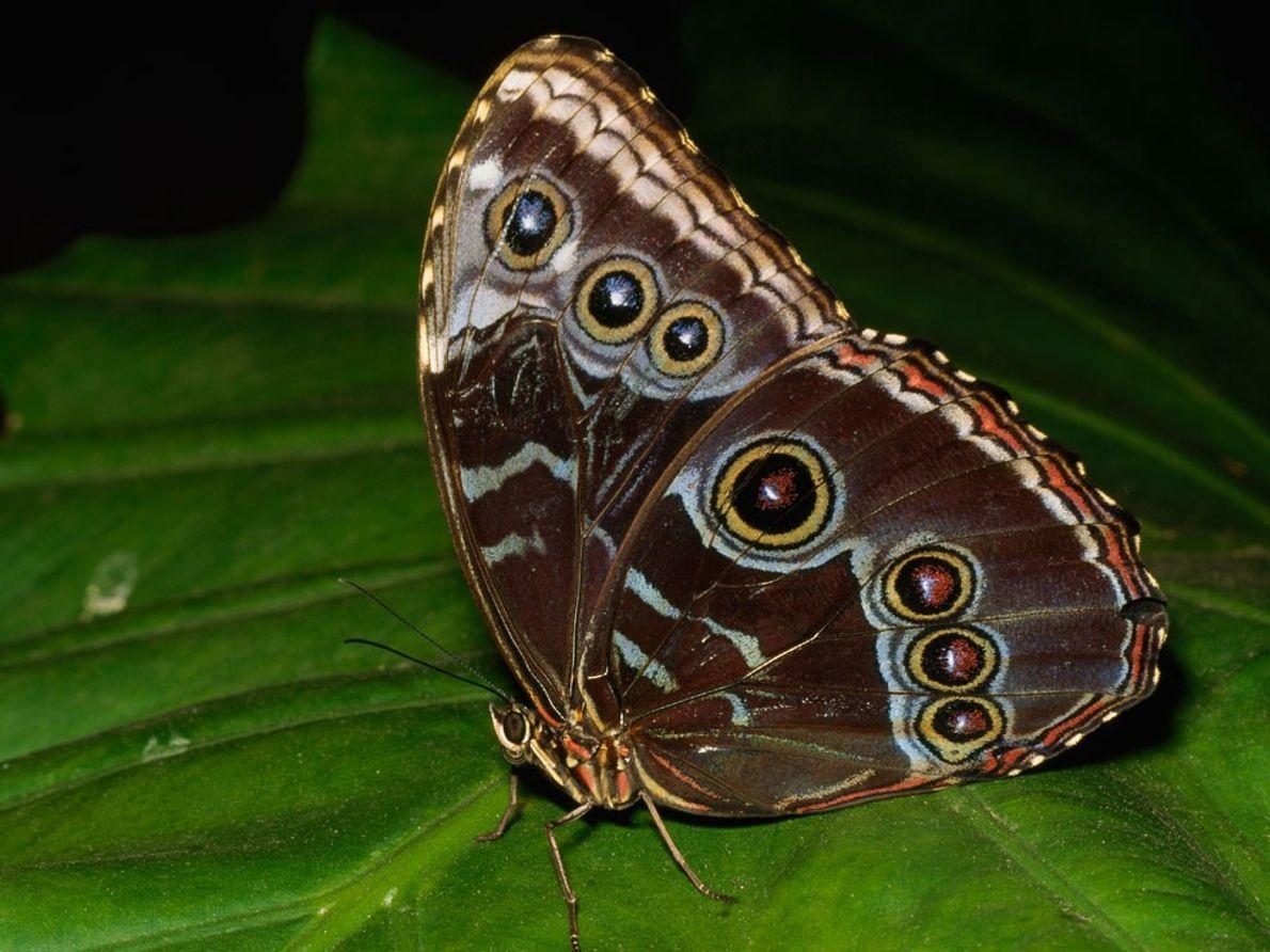 Una mariposa morpho azul decorada (Morpho sp.) descansa sobre una hoja. El ciclo de vida completo ...