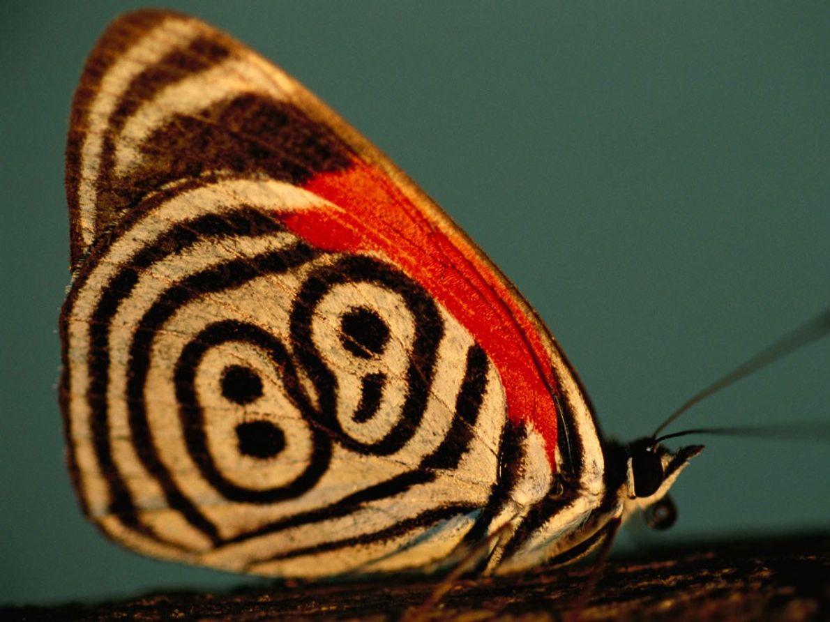 Una mariposa ochenta y ocho (Diaethria neglecta) en el Pantanal de Brasil muestra el diseño de ...
