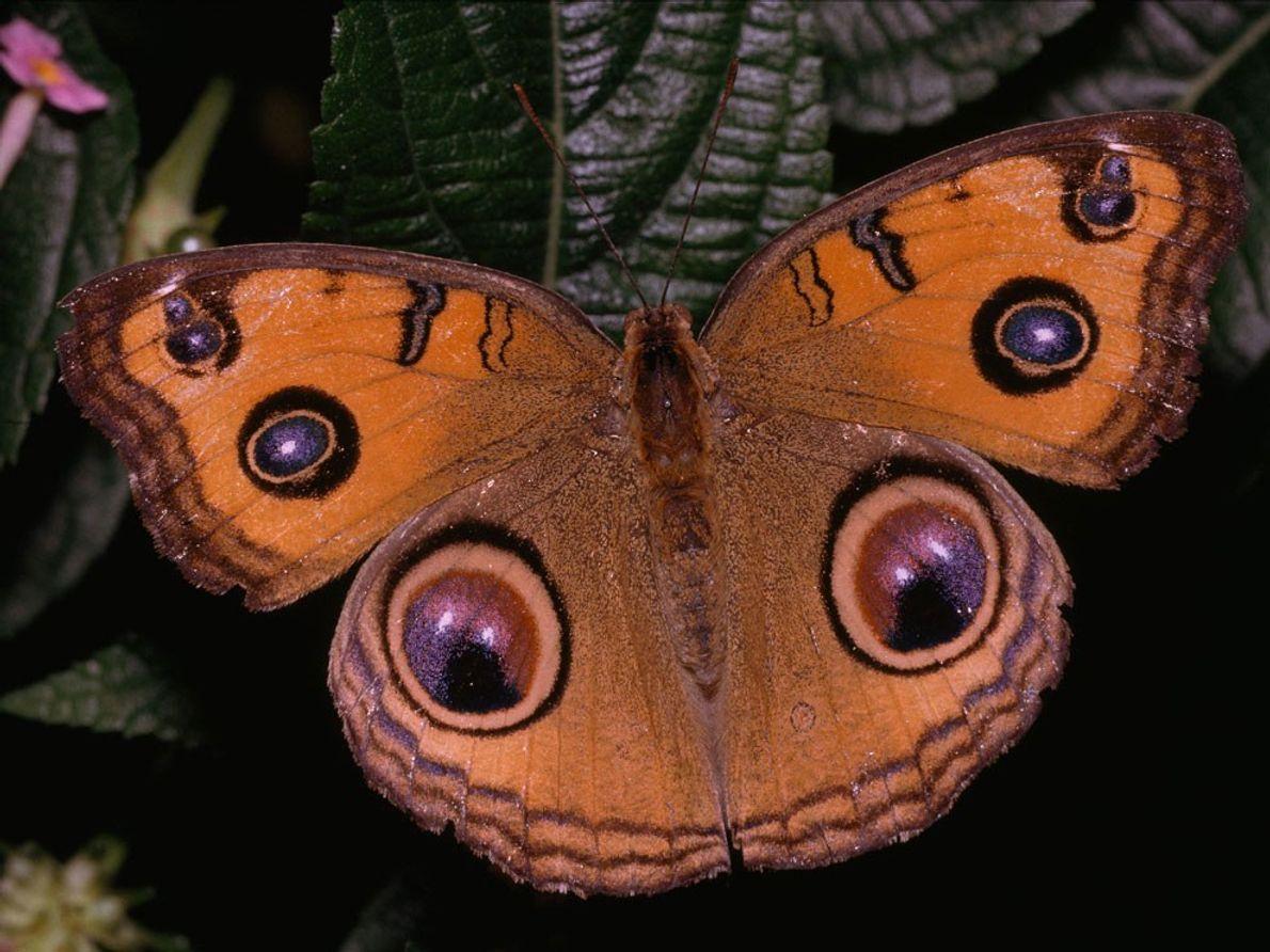 La mariposa del pensamiento del pavo real (Junionia almana) luce llamativas manchas oculares y patrones púrpuras.