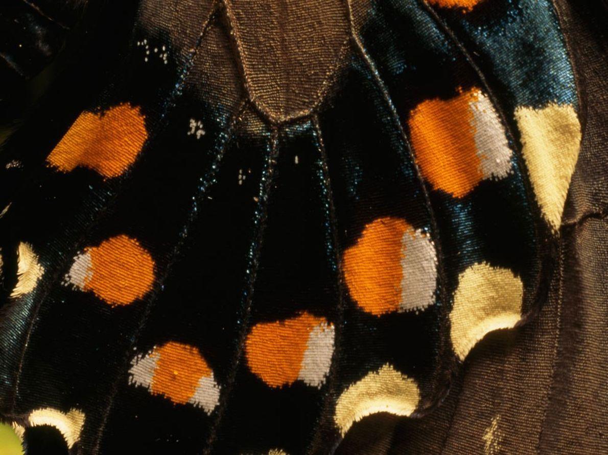 La mariposa cola de golondrina (Battus philenor) tiene puntos blancos y anaranjados en la parte inferior ...