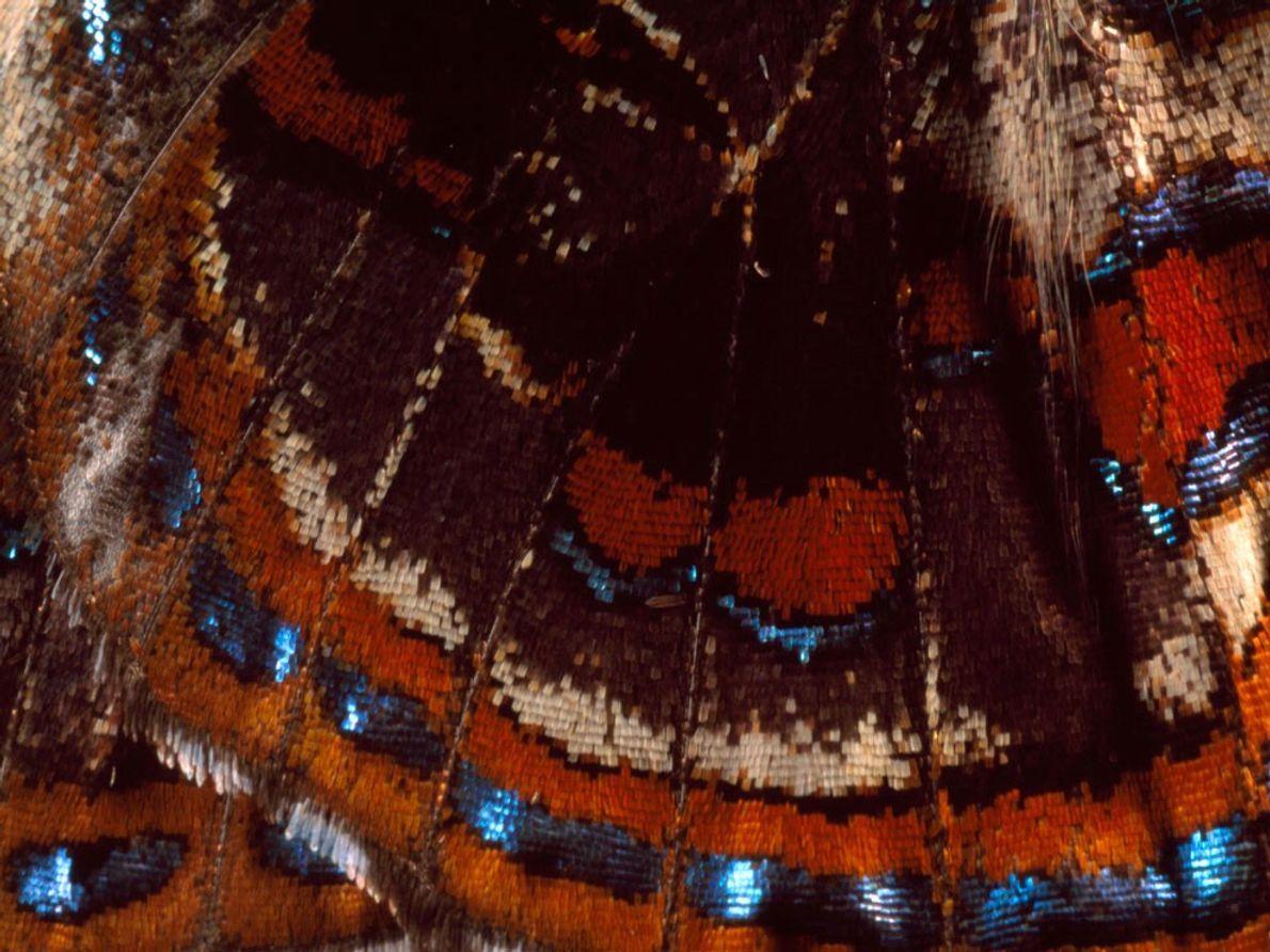 Un primer plano del ala de una mariposa no identificada que se encuentra cerca de Tully, ...