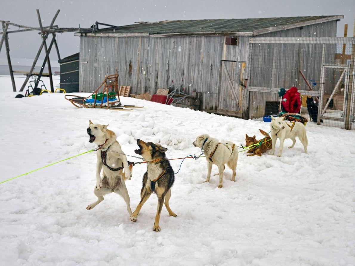 Los perros de trineo esperan ansiosamente una carrera en la base de investigación de Ny-Ålesund. El ...