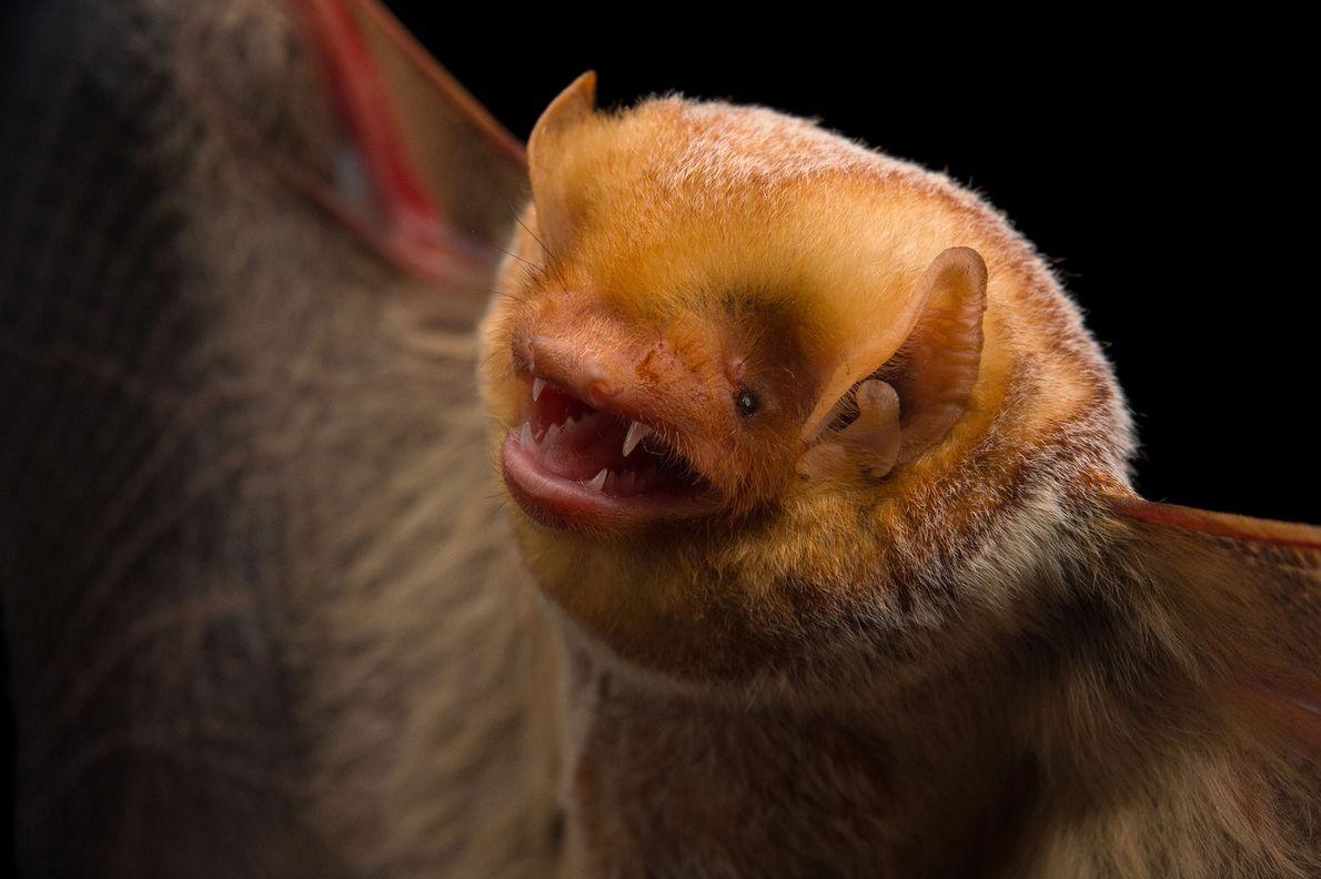 """Un murciélago colorado hembra (""""Lasiurus borealis"""") en Florida."""