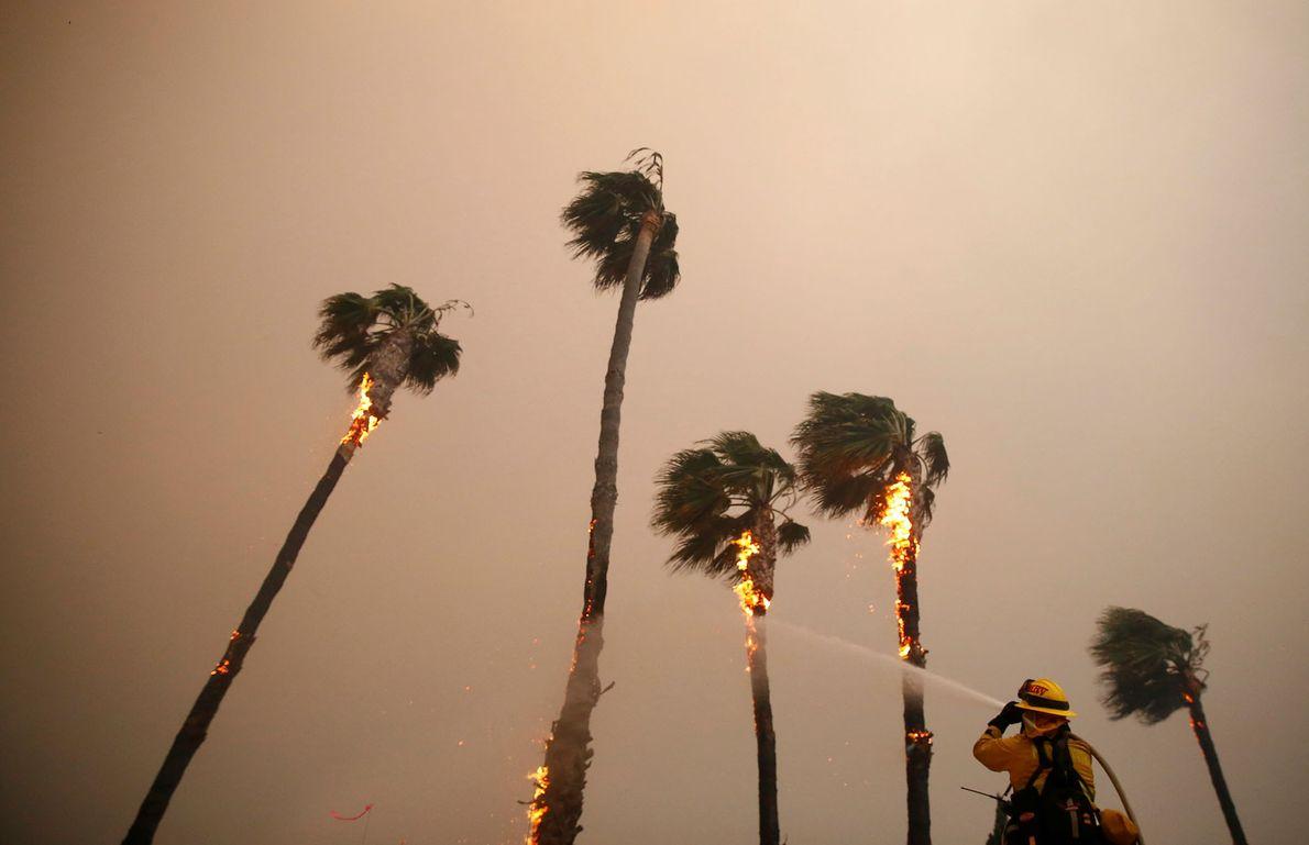 Un bombero rocía palmeras quemadas por las llamas de Woolsey en Malibú el 9 de noviembre.