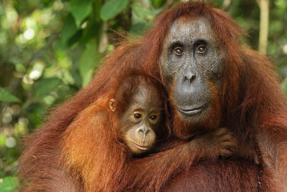 Una madre y su bebé abrazados en el Campamento Leakey. Estas tan inteligentes criaturas comparten casi ...