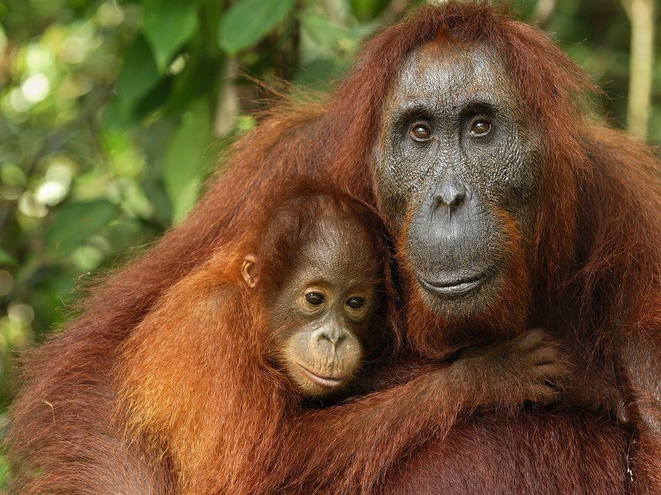 Día Mundial del Orangután: ¿Sabes cuál es el tiempo de lactancia de estos animales?