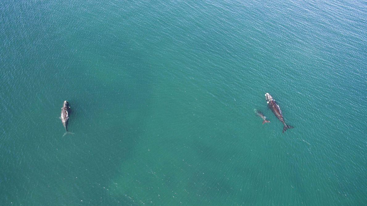 """""""Un grupo de ballenas nadasobre la superficie a 3 kilómetrosde la costa""""."""
