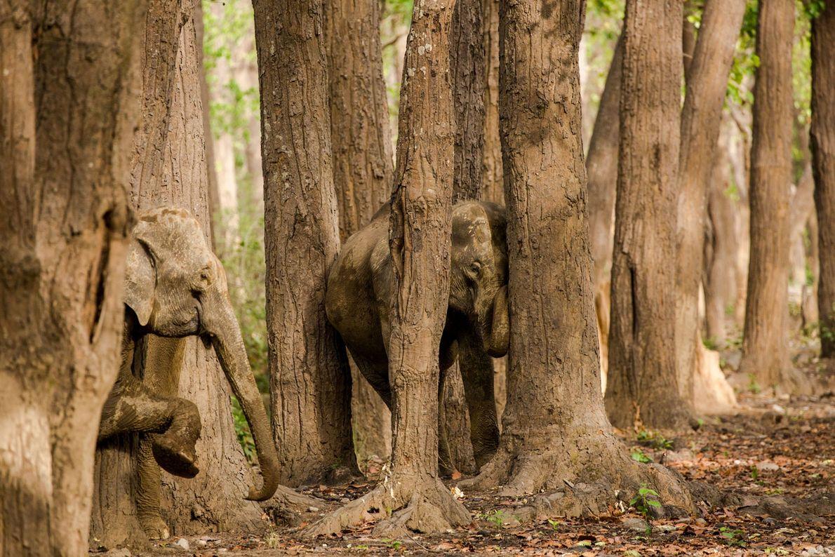Elefantes. Parque Nacional Jim Corbett, Uttar Pradesh, India.