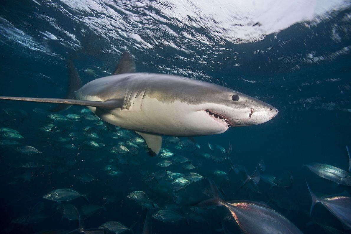 Un gran tiburón blanco nada en las aguas de las islas de Neptuno.