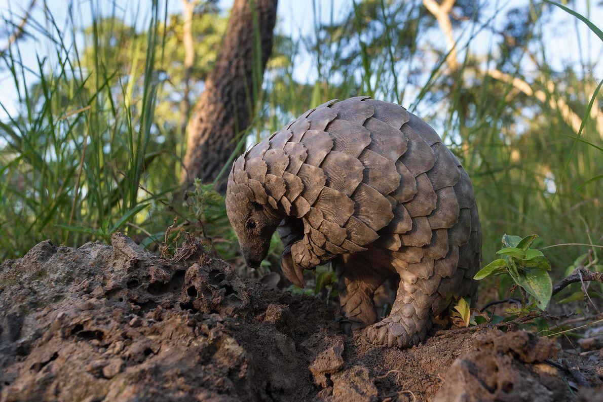 Un pangolín joven busca hormigas en la tierra. Los pangolines atrapan a sus presas con la ...