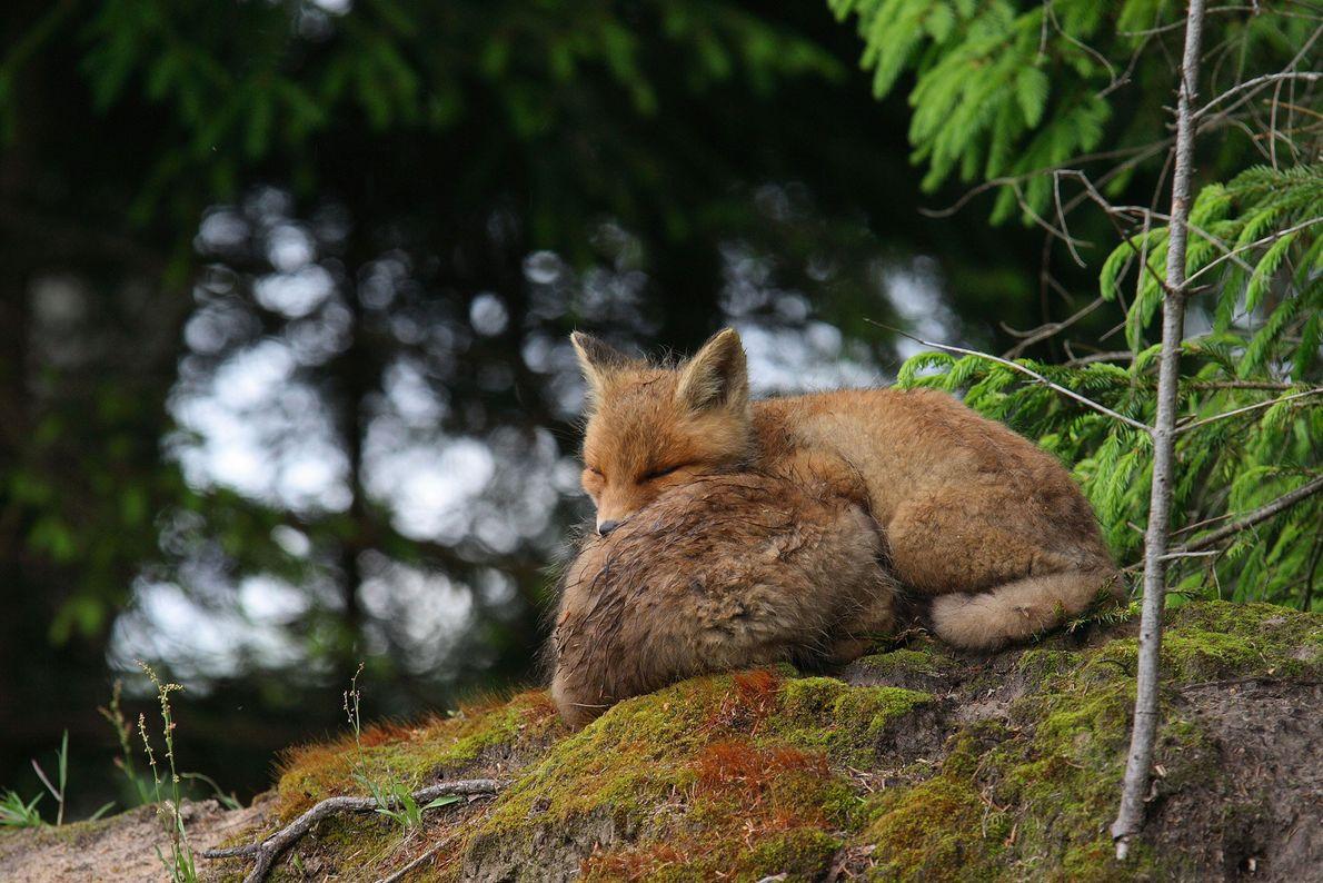 Un par de zorros rojos toman un descanso.